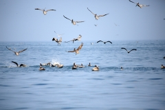feeding-time-for-the-Pelicans