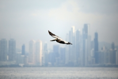 Pelican against the Panama City skyline